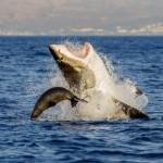 Güney Afrika'nın Fok Adası'ndaki köpek balığının yavru foku yakalama çabaları | David Jenkins / 26 Temmuz 2013